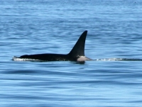 Orca Whales at Cliffside J-Pod